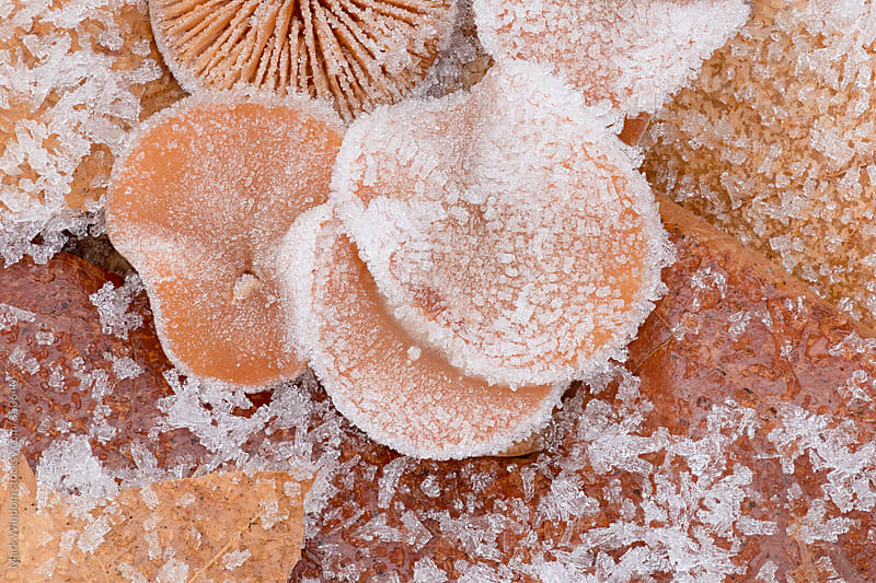 Frosty mushrooms and leaves, closeup by Mark Windom for Stocksy United