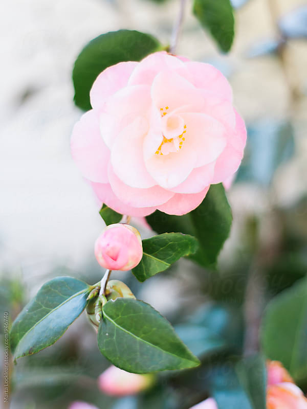 Spring Pink Camelia Blooms by Marta Locklear for Stocksy United