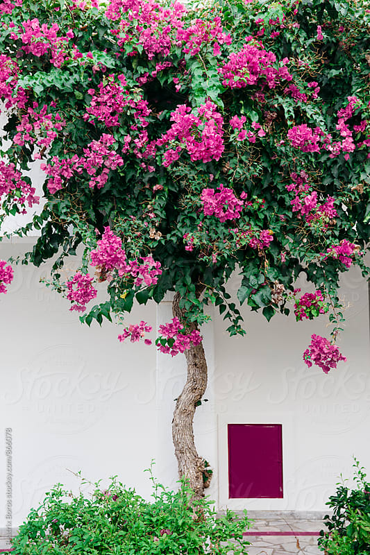 Tree in blossom in front of white wall by Beatrix Boros for Stocksy United