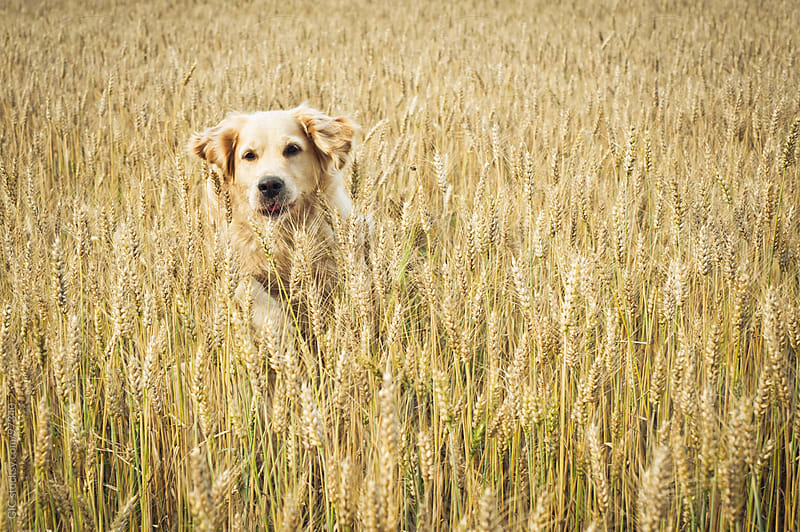 Golden Retriever Dog Running in a Wheat Field by GIC for Stocksy United