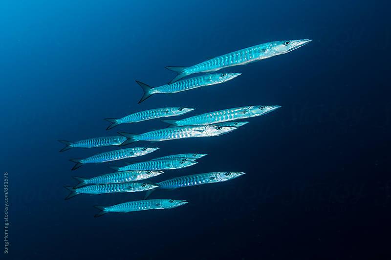 School of barracuda by Song Heming for Stocksy United