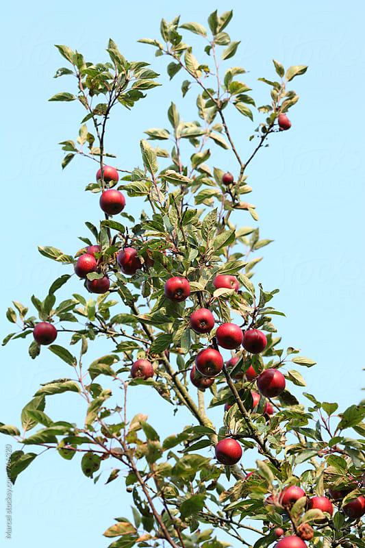 Ripe red apples hanging on the tree by Marcel for Stocksy United