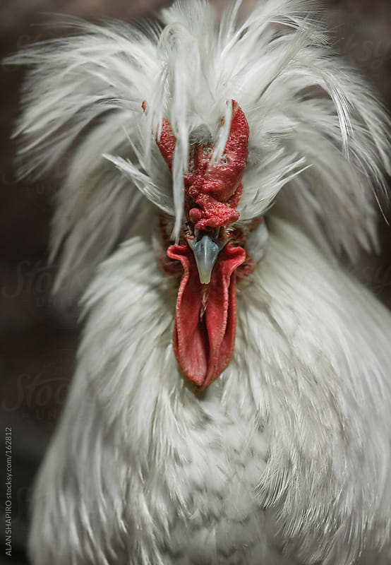 Ferdinand, a Mottled Houdan x Buff Laced Crested Polish x Sicilian Buttercup Rooster  by ALAN SHAPIRO for Stocksy United