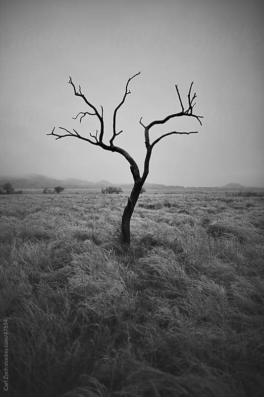 Lonely Tree by Carl Zoch for Stocksy United