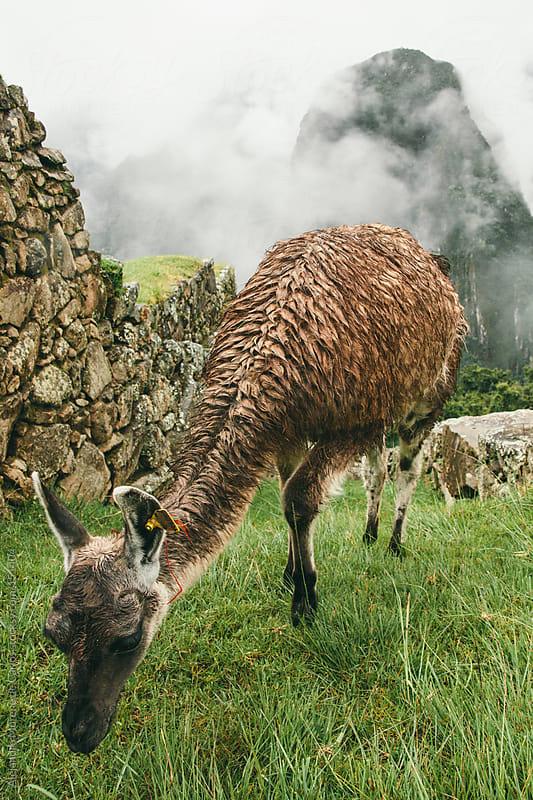 Llama or lama in Machu Picchu eating grass. Peru travel image by Alejandro Moreno de Carlos for Stocksy United