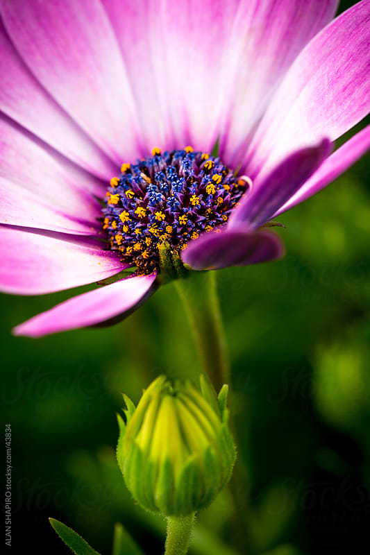 A very colorful flower by ALAN SHAPIRO for Stocksy United