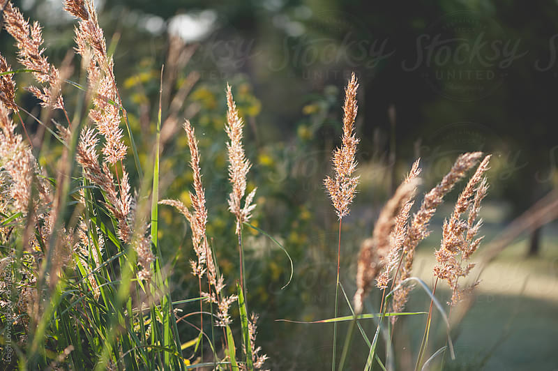 Native Grass Plumes In Afternoon Light by Leigh Love for Stocksy United