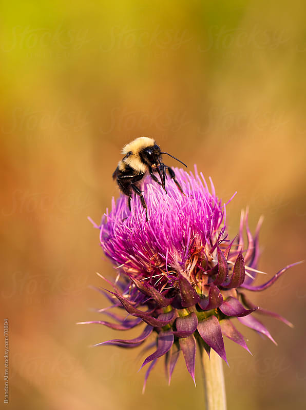 Bumblebee Macro on Milk Thistle by Brandon Alms for Stocksy United