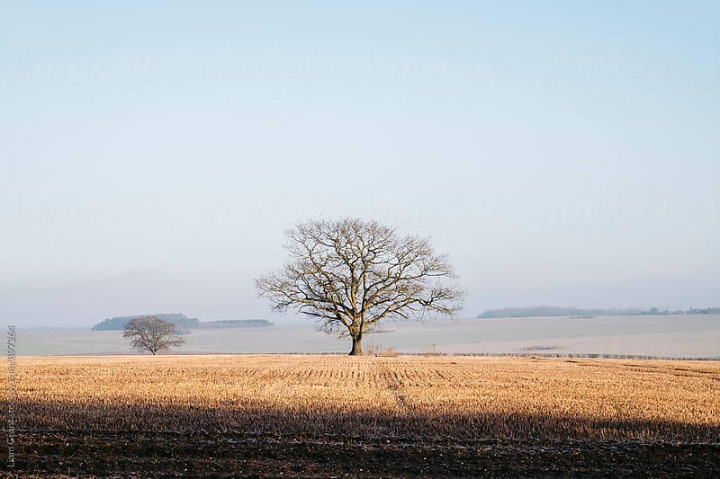 Tree in a frost covered stubble field at sunrise. Norfolk, UK. by Liam Grant for Stocksy United