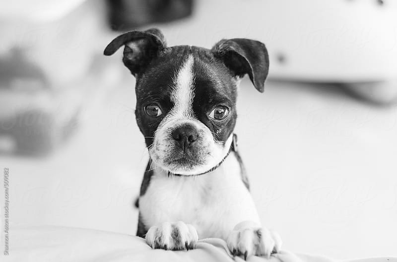 Bruce the Boston Terrier/Pug at play by Shannon Aston for Stocksy United