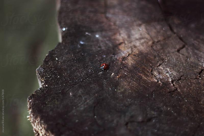 Ladybug on a stump by Jovana Rikalo for Stocksy United