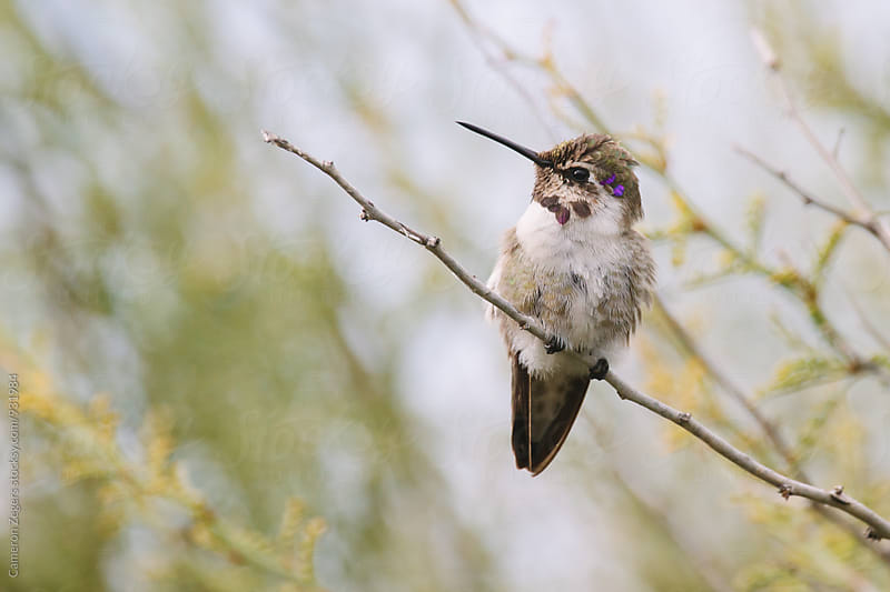 young hummingbird perched on twig by Cameron Zegers for Stocksy United