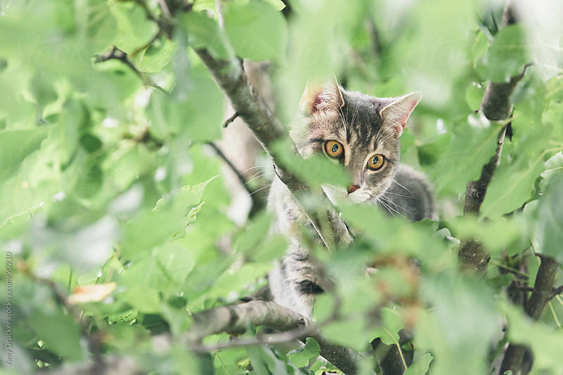 Grey Tiger Cat in a Tree by Amy Drucker for Stocksy United