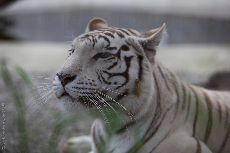 White Tiger by Carey Haider for Stocksy United