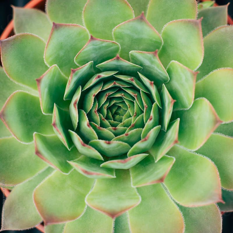 Succulent plant by Kristin Duvall for Stocksy United