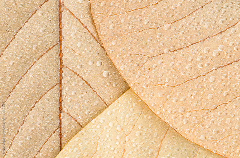 Waterdrops on magnolia leaves, closeup by Mark Windom for Stocksy United