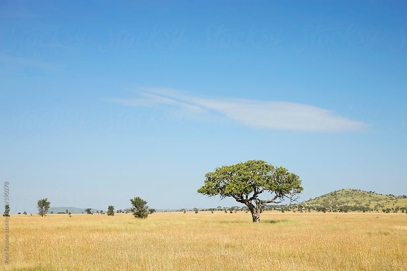 Serengeti Landscape by Paul Tessier for Stocksy United