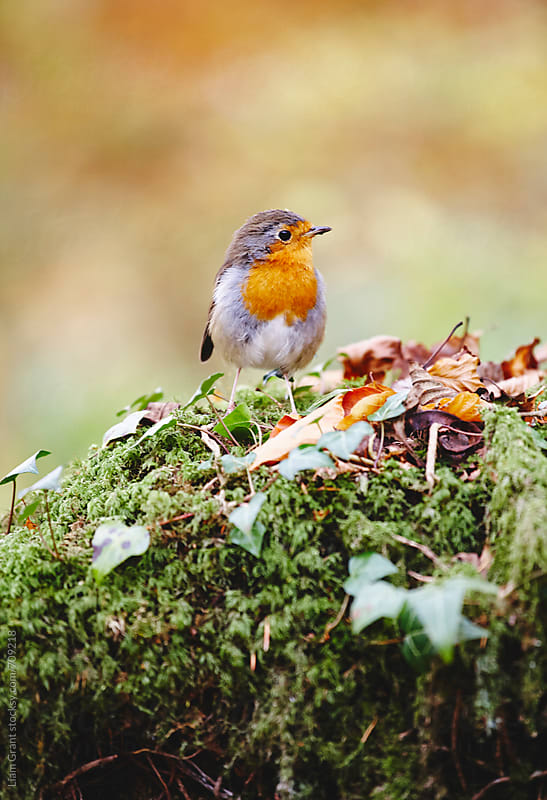 Robin sat on a tree stump in autumn. Wales, UK. by Liam Grant for Stocksy United
