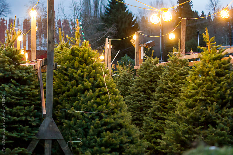 Christmas Tree Lot by Terry Schmidbauer for Stocksy United