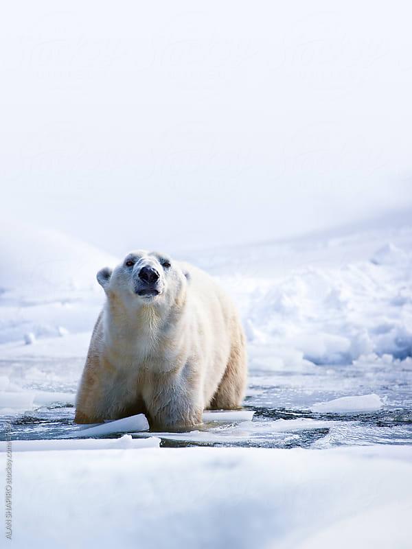 Polar bear by alan shapiro for Stocksy United