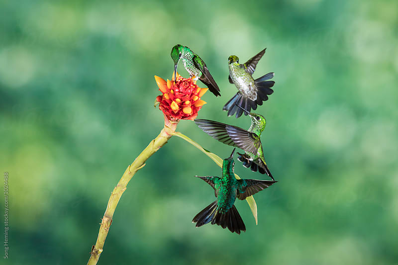 Four hummingbirds fly to the flower to eat nectar by Song Heming for Stocksy United