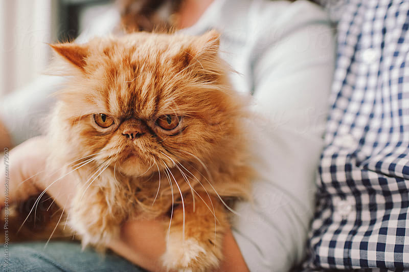 Cute cat sitting in owners arms at home by Kristin Rogers Photography for Stocksy United