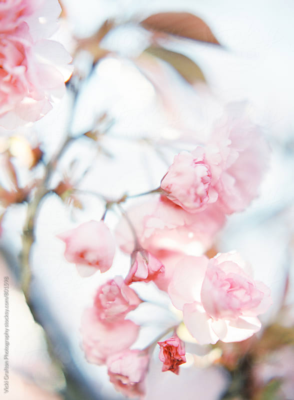 Pink Spring Blossoms  by Vicki Grafton Photography for Stocksy United