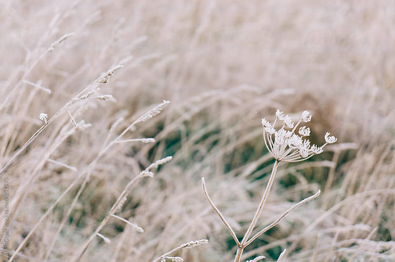 Wild grass covered in heavy frost. Norfolk, UK. by Liam Grant for Stocksy United