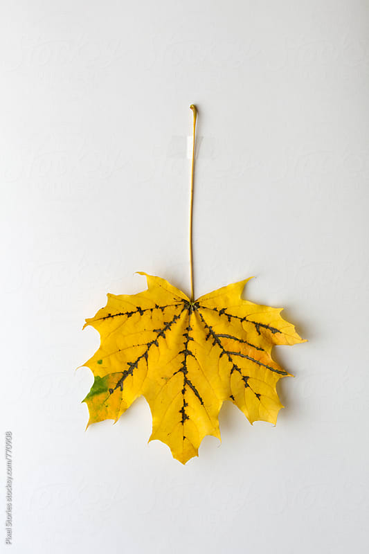 Yellow autumn leaf taped on white paper by Pixel Stories for Stocksy United