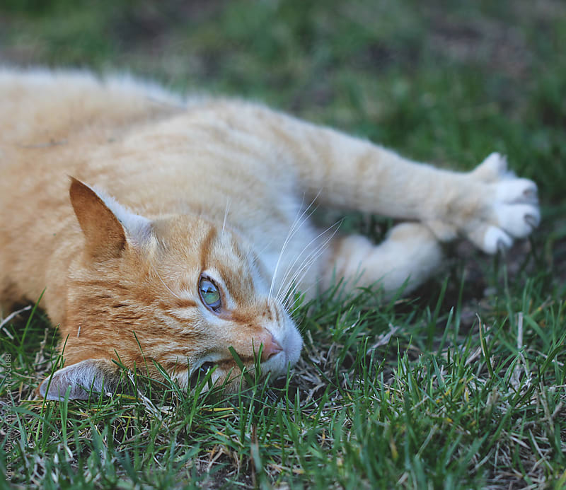 Cat stretching & laying in the grass, looking at camera by Monica Murphy for Stocksy United