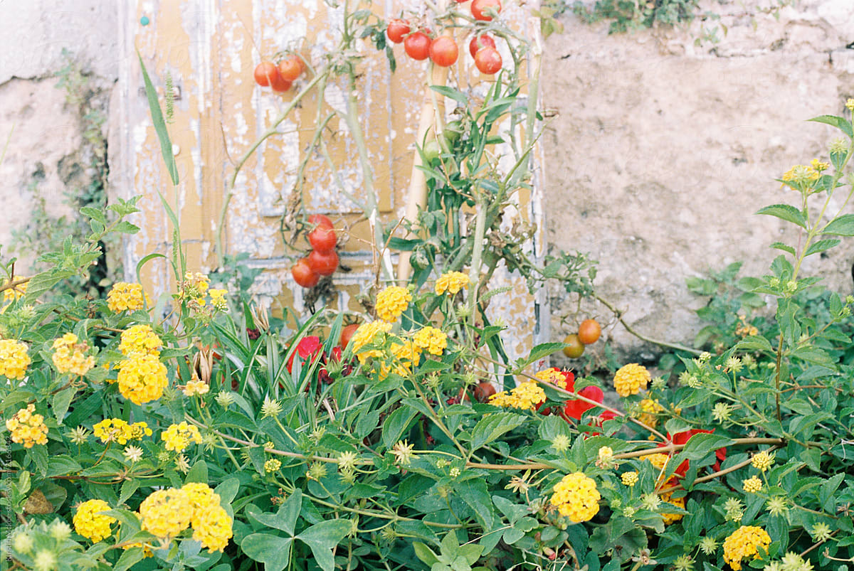 Rustic Scene Of Yellow Flowers And Tomatoes Stocksy United