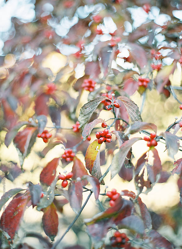 Red Winter Berries  by Vicki Grafton Photography for Stocksy United