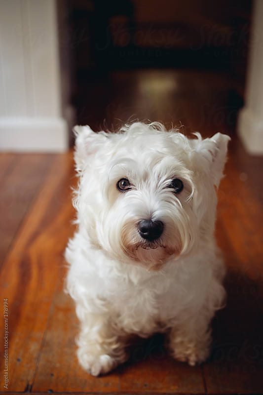 White dog looking scruffy and sad by Angela Lumsden for Stocksy United