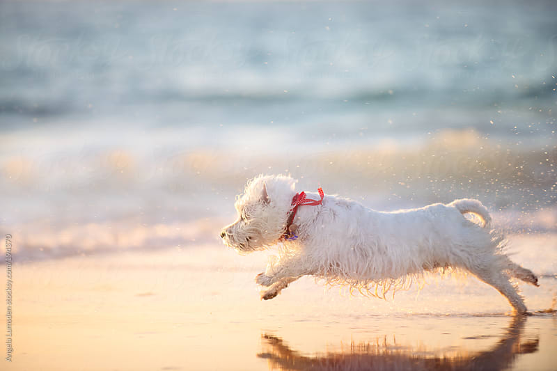 White dog running in wet sand at sunset by Angela Lumsden for Stocksy United