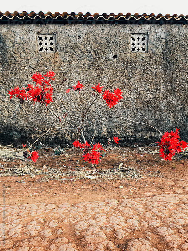 Red Flower Tree Growing in Front of Old Shabby Wall by Julien L. Balmer for Stocksy United