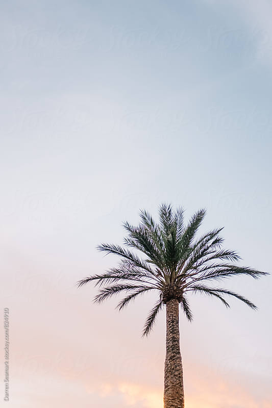 A palm tree against a clear sky at sunset by Darren Seamark for Stocksy United