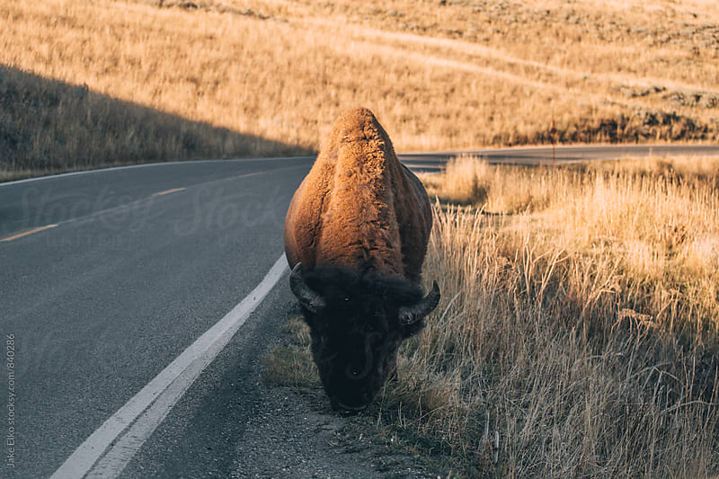 Yellowstone Wildlife Friends by Jake Elko for Stocksy United