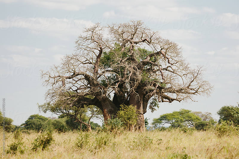 baobab tree in Tanzania by Cameron Zegers for Stocksy United