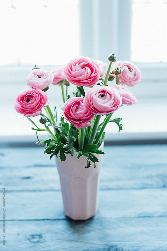Pink Ranunculus flowers by Helen Rushbrook for Stocksy United
