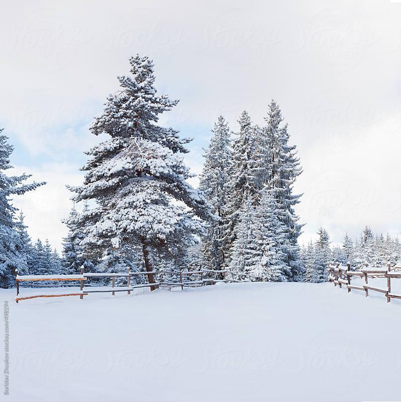 Snowy Pine In Winter by Borislav Zhuykov for Stocksy United