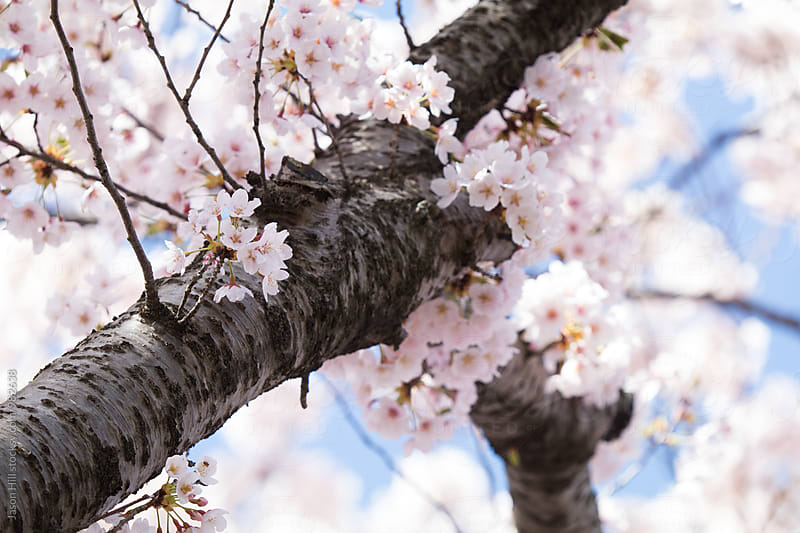 Cherry Blossoms in Full Bloom by Jason Hill for Stocksy United
