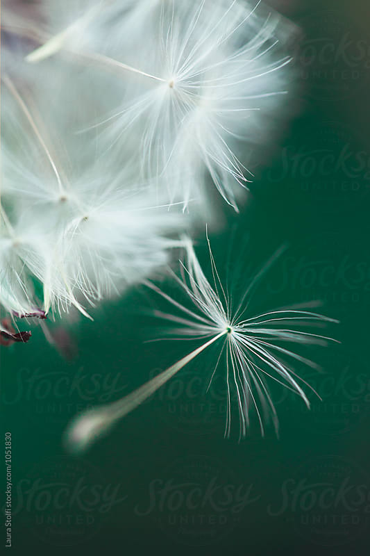 Extreme close-up of dandelion seed flying away from the plant by Laura Stolfi for Stocksy United