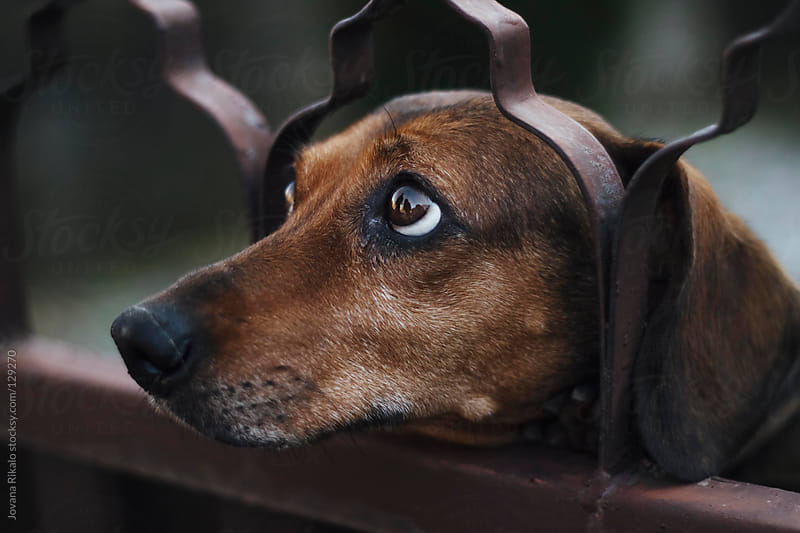 Dog with sad look looking trough the fence by Jovana Rikalo for Stocksy United