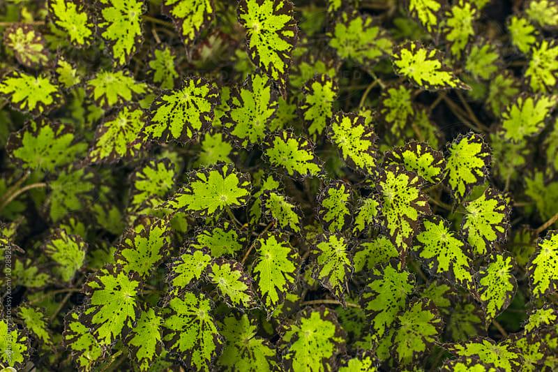Begonia leaves by Sasha Evory for Stocksy United