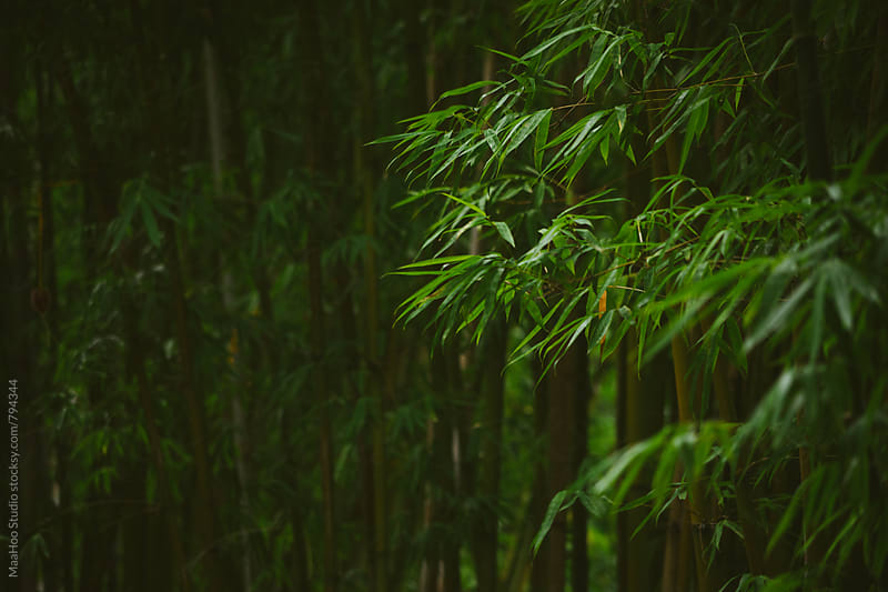 Green bamboos by MaaHoo Studio for Stocksy United