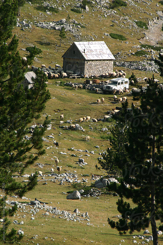 Mountain cottage Surrounded by sheep by Jelena Jojic Tomic for Stocksy United