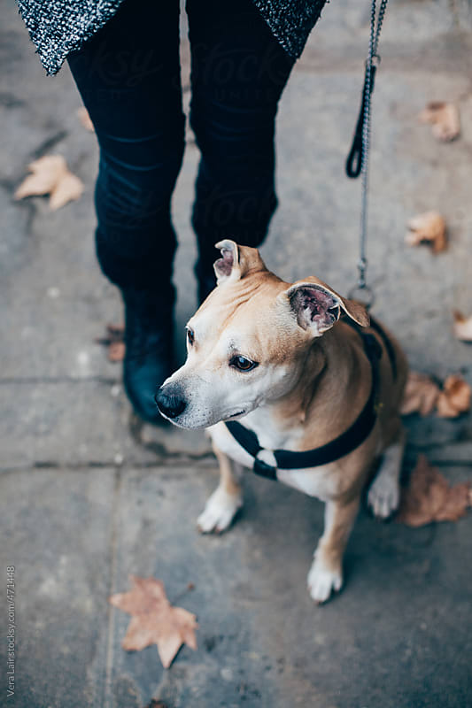 A pitbull in the street by Vera Lair for Stocksy United