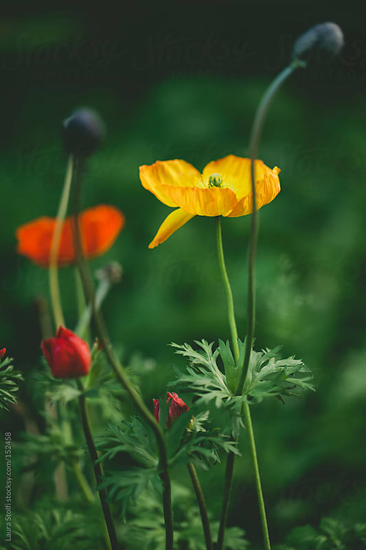 Flowered lawn: close up of poppies flowers and seeds and buds by Laura Stolfi for Stocksy United