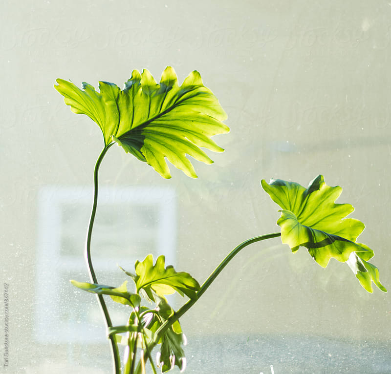 Houseplant by sunny window by Tari Gunstone for Stocksy United