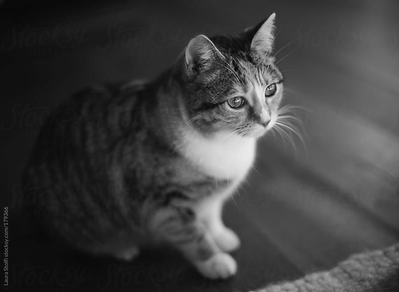 Black and white calico cat portrait by Laura Stolfi for Stocksy United